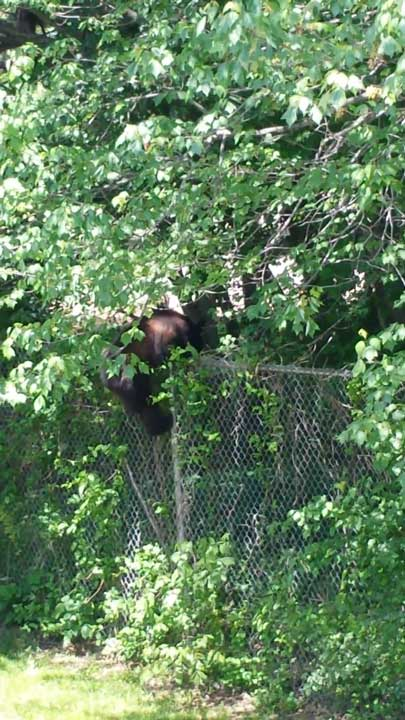 Police say a bear was sighted climbing a fence into the Bucks Meadow Apartment Complex in Bensalem, Pa. on May 25, 2014. <span class=meta>(Photo&#47;Photo credit: Rick Voran Jr.)</span>
