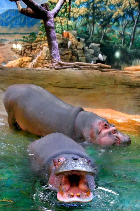 Photos Hippo Haven Opens At Adventure Aquarium