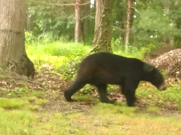 <div class='meta'><div class='origin-logo' data-origin='none'></div><span class='caption-text' data-credit=''>Police in Waterford, Camden County cautioned residents after a black bear was spotted in the area on Thursday, June 12, 2014.</span></div>