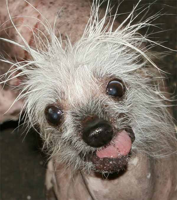 Rascal is one of the top dogs at this year's World's Ugliest Dog Contest at the Sonoma-Marin Fair, being held Friday June 20th in Petaluma, California. Who do you think will win?