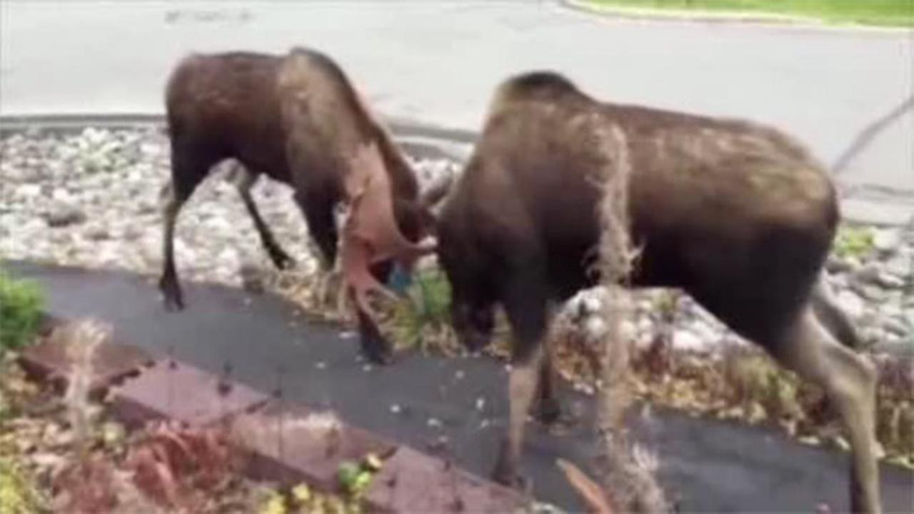 Moose duke it out in Alaska driveway