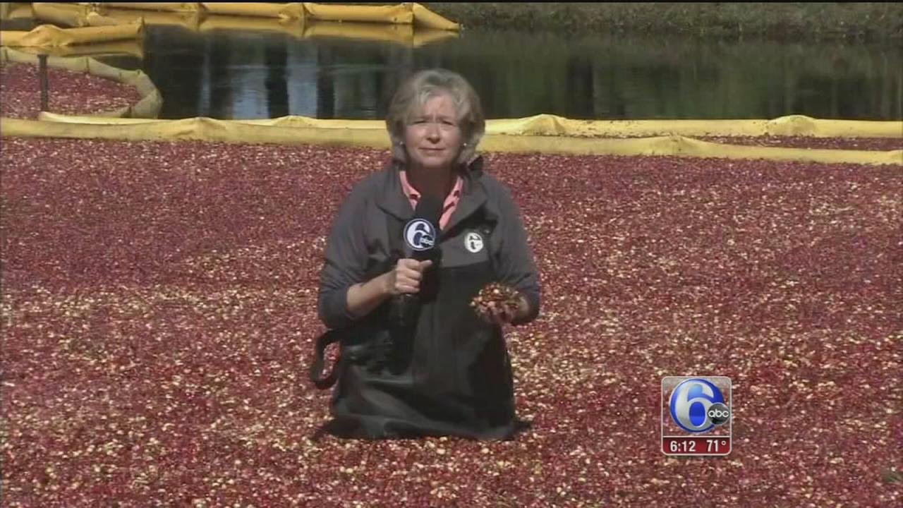 VIDEO: Cranberry season in South Jersey