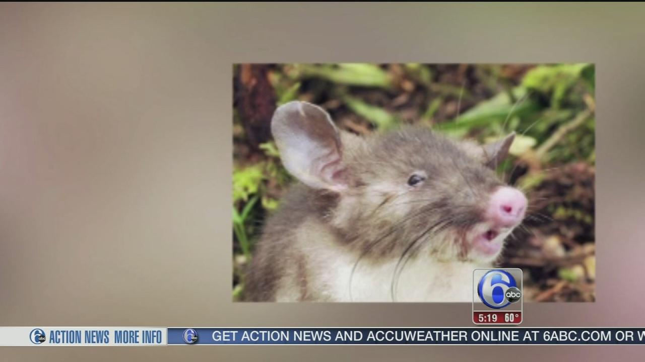 VIDEO: New rat species found