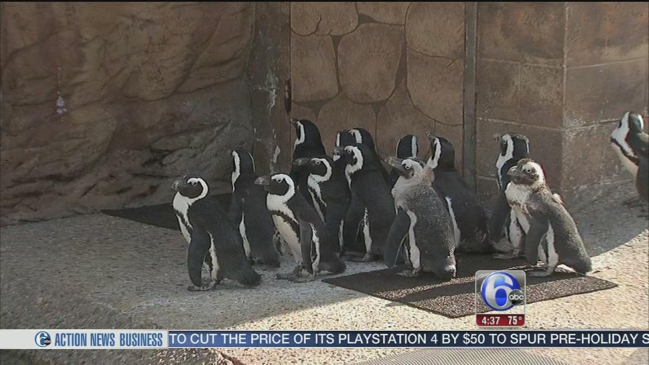 Penguin prepare for preview