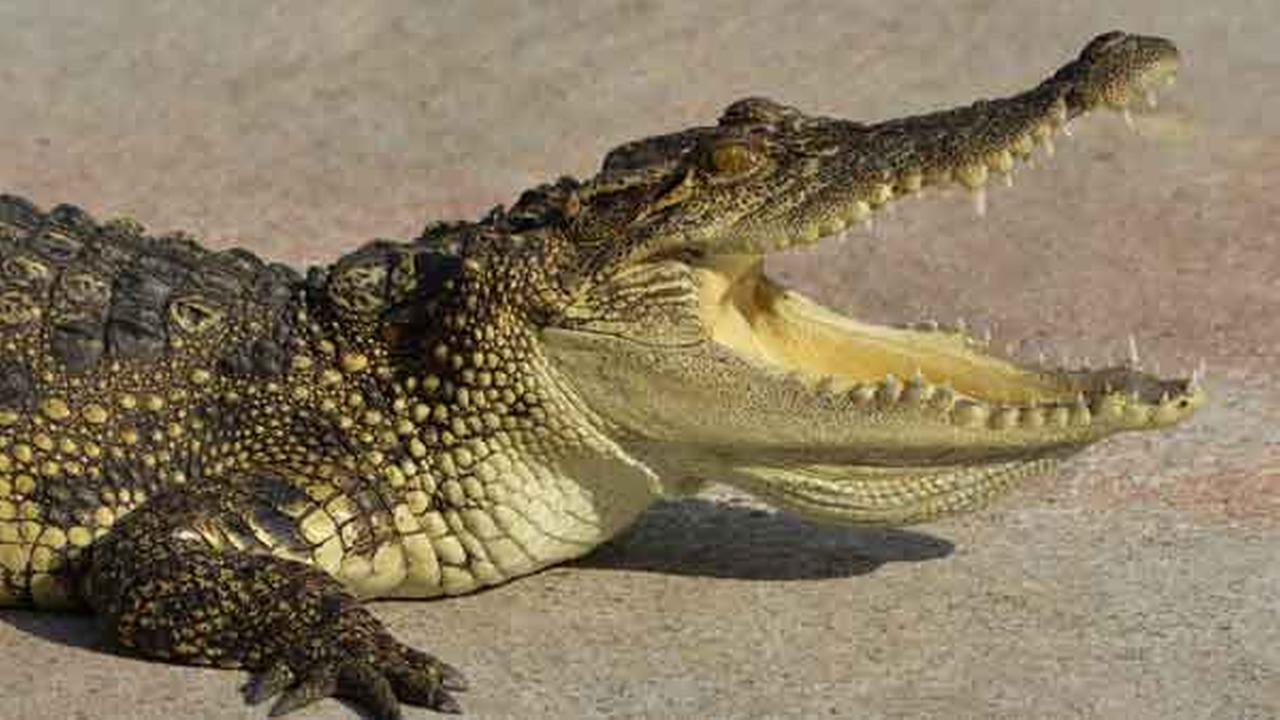 Multiple alligator sightings reported in Carolina Beach