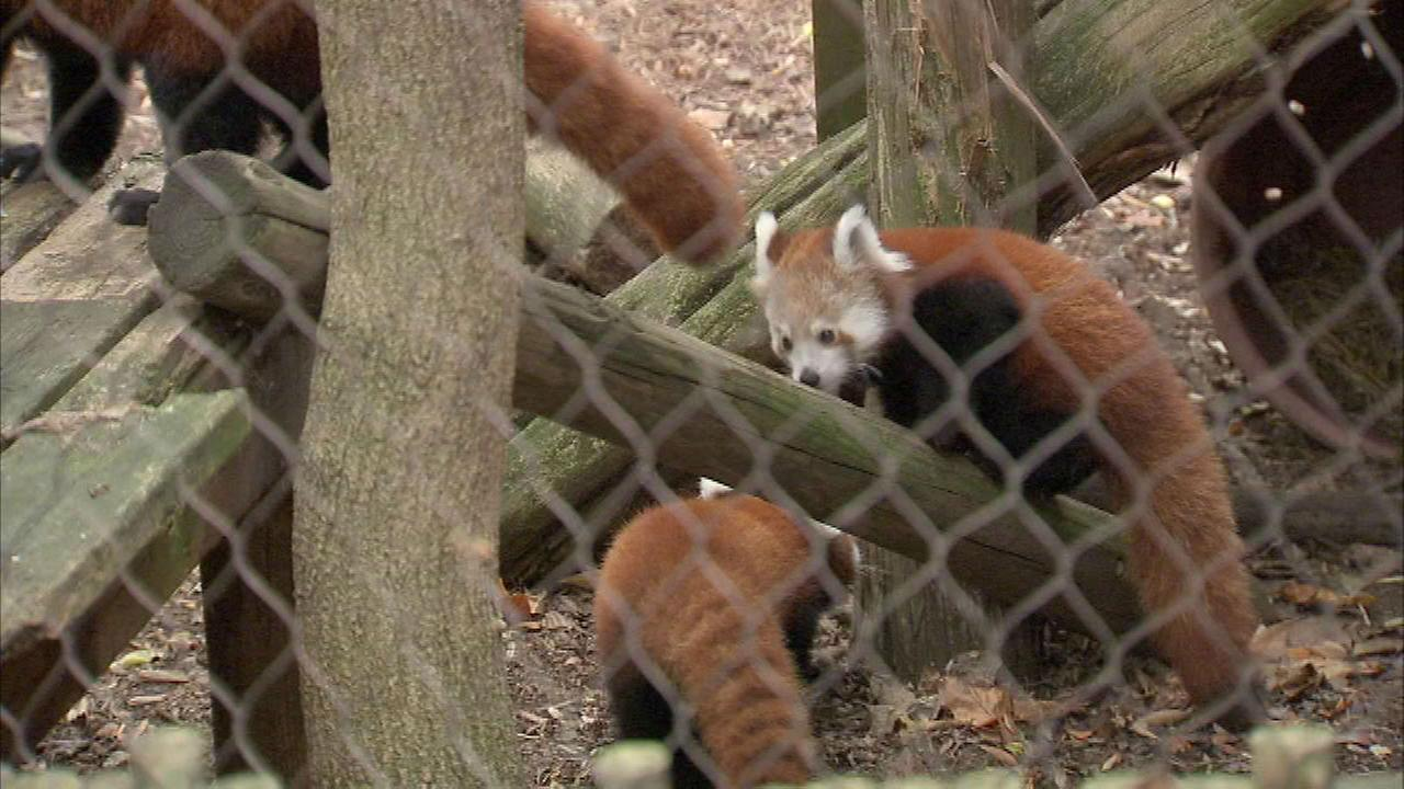 PHOTOS: Red panda cubs at Philadelphia Zoo