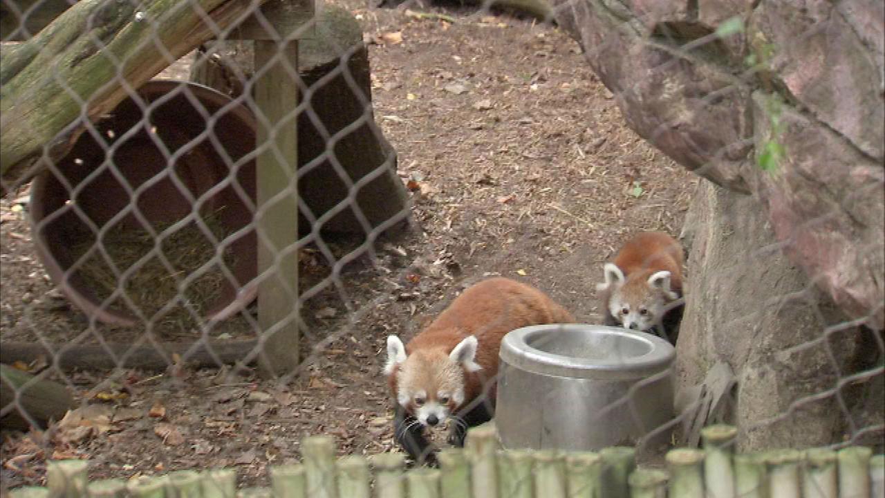 """PHOTOS: Red panda cubs at Philadelphia Zoo×ק½a8û¨é"""".՝Š°Ù\j²¤PŒóÊ-þéüë-:JžÎÿ"""