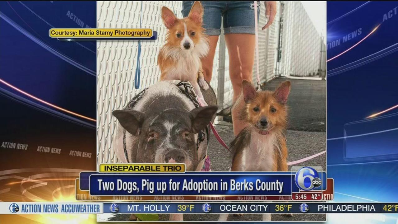 VIDEO: 2 dogs, pig up for adoption