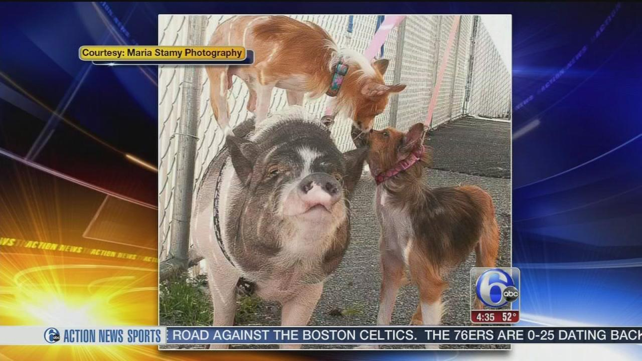 VIDEO: Triple P: 2 dogs, pig find forever home at Berks County farm