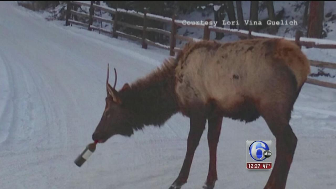 VIDEO: Elk has a taste for wine