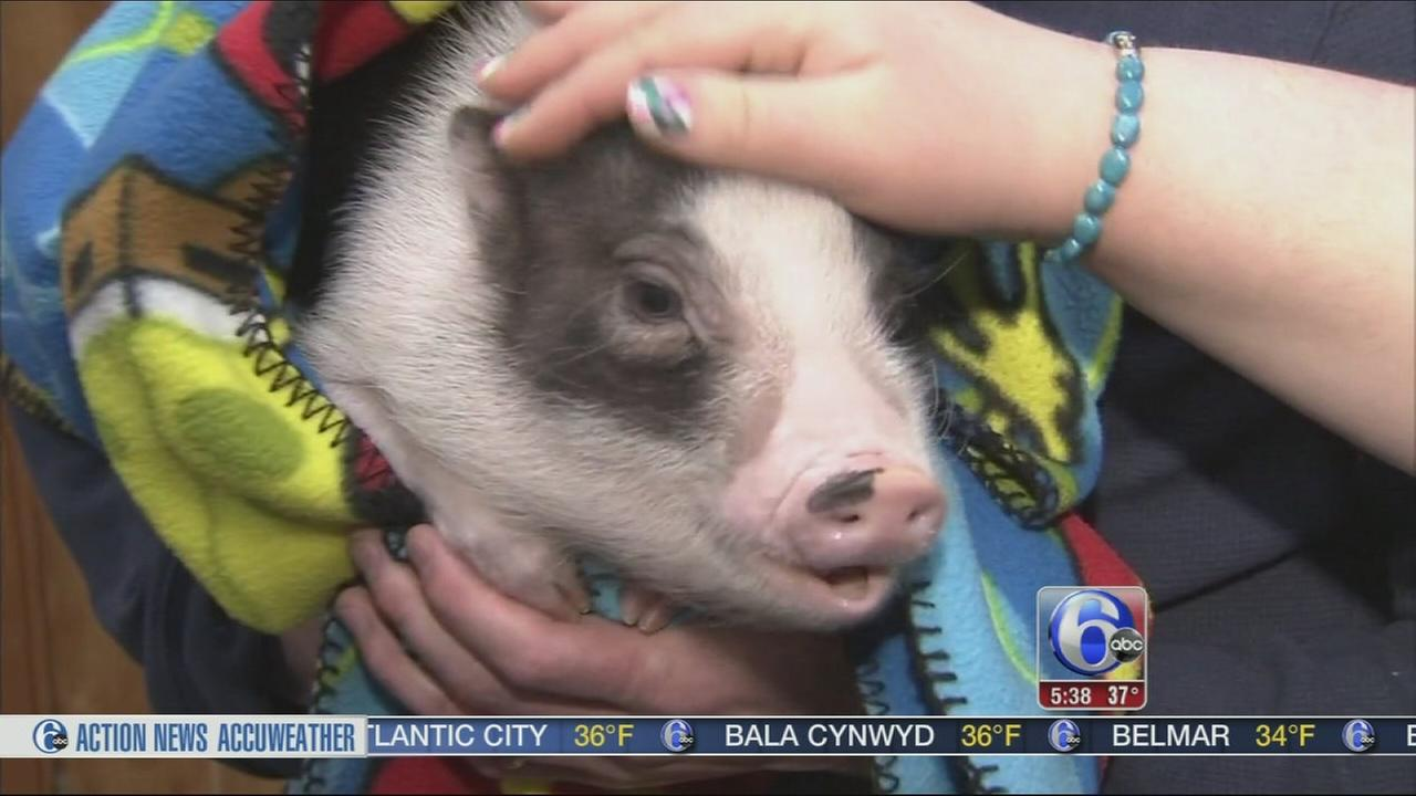VIDEO: Therapy pig helps those with disabilities