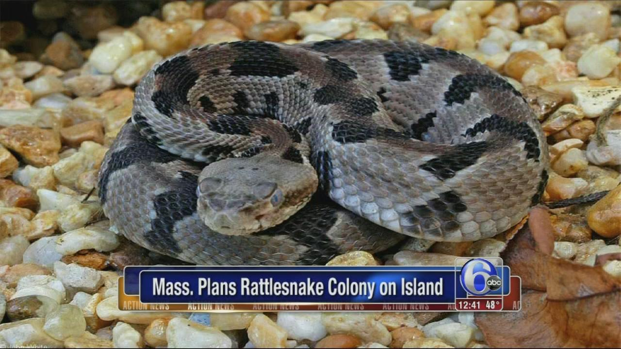 VIDEO: Massachusetts plans rattlesnake colony