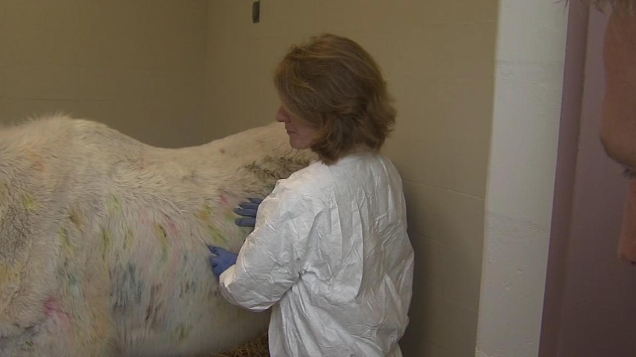 An abandoned horse is now under a vets care after it was found to be hit with dozens of paintballs.