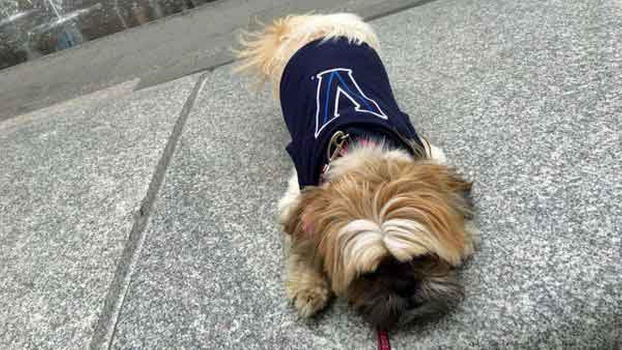 Put me in coach, I can shoot 3-pointers! Annie McCormicks adorable pup, Gigi, shows off her new Villanova swag.Twitter/Annie McCornick