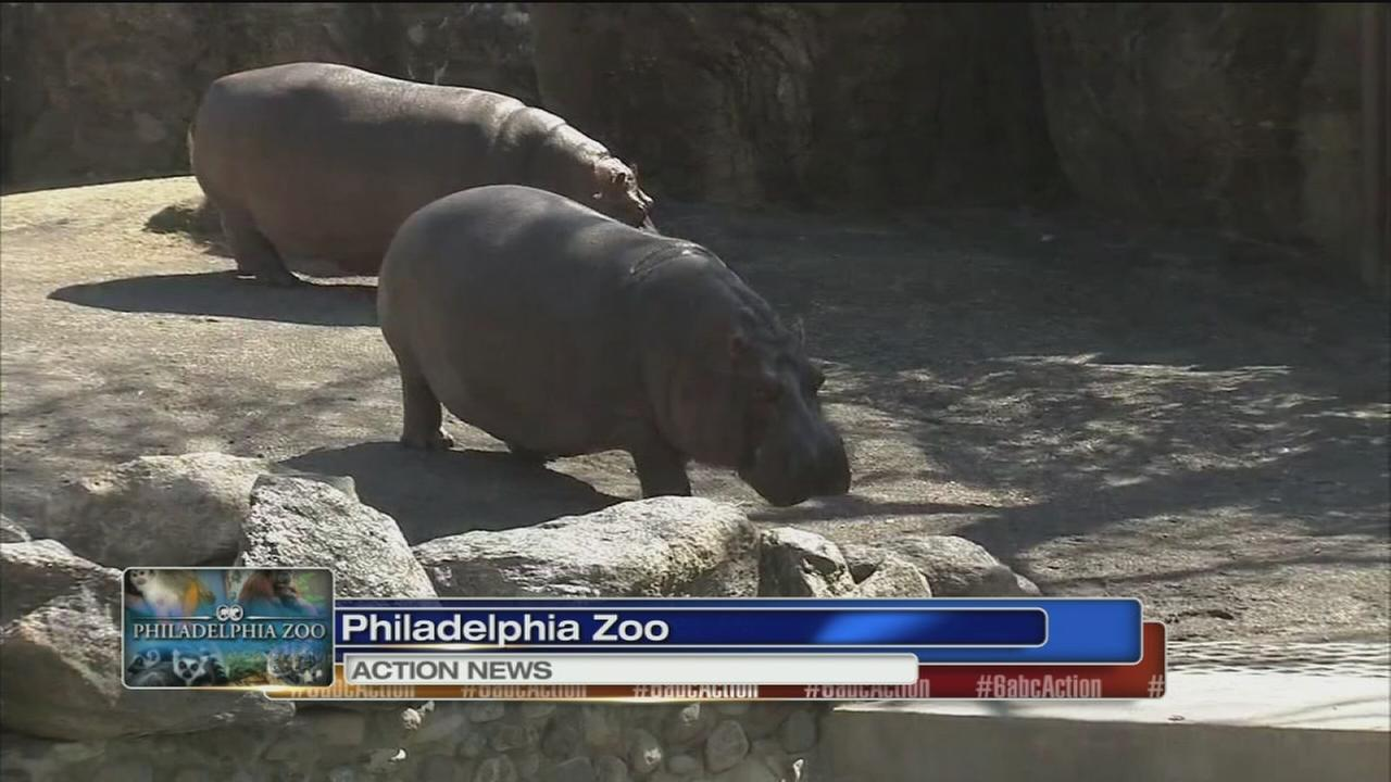 VIDEO: Hippos enjoy sun at Philadelphia Zoo