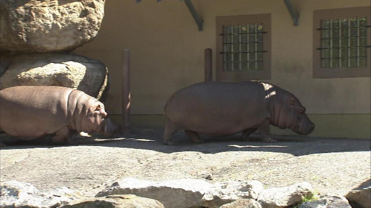 The Philadelphia Zoos female hippos, Cindy and Unna, basked in the spring sunshine Thursday morning.