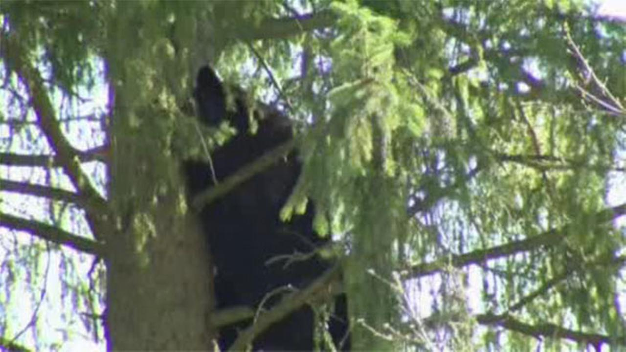 Bear captured in Connecticut neighborhood
