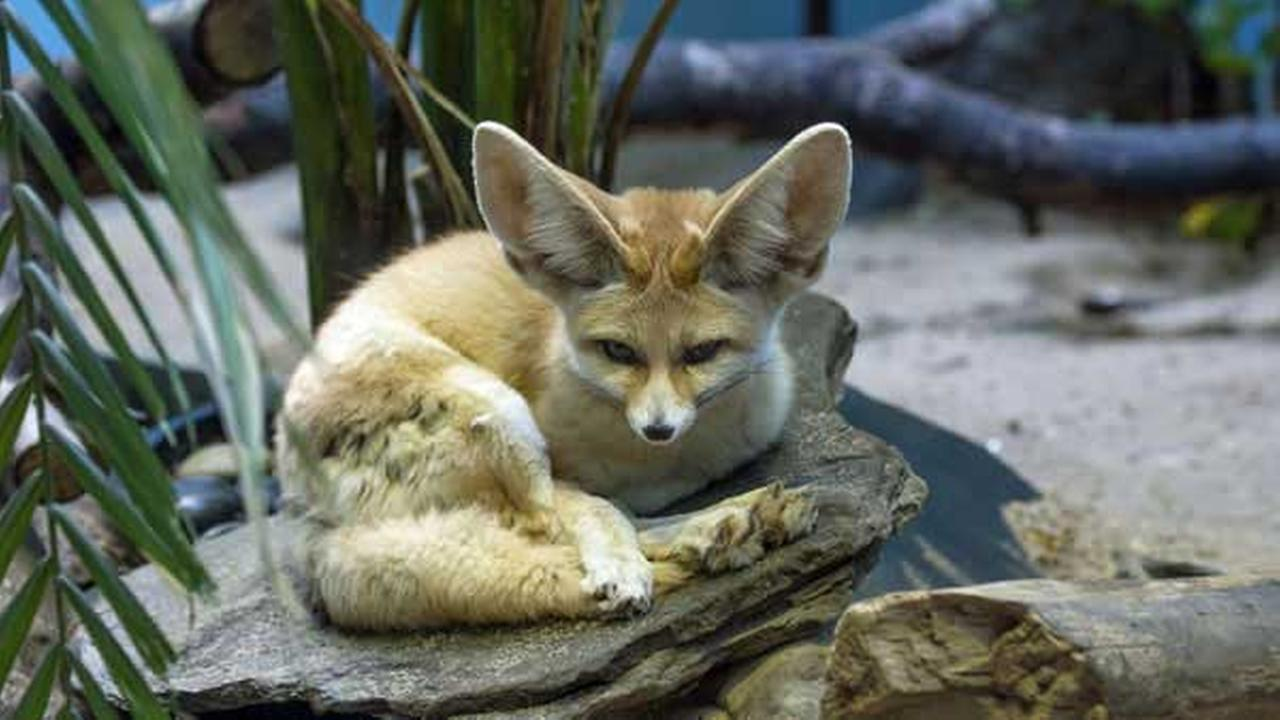 This April 13, 2016, photo shows one of two new fennec foxes making their debut at the Prospect Park Zoo in the Brooklyn borough of New York.