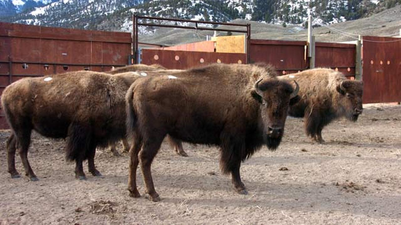 A group of Yellowstone National Park bison await shipment to slaughter inside a holding pen along the parks northern border near Gardiner, Mont. on March 9, 2016.