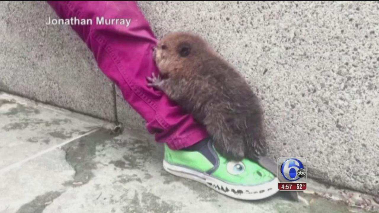 VIDEO: Baby beaver spotted at D.C. train stop
