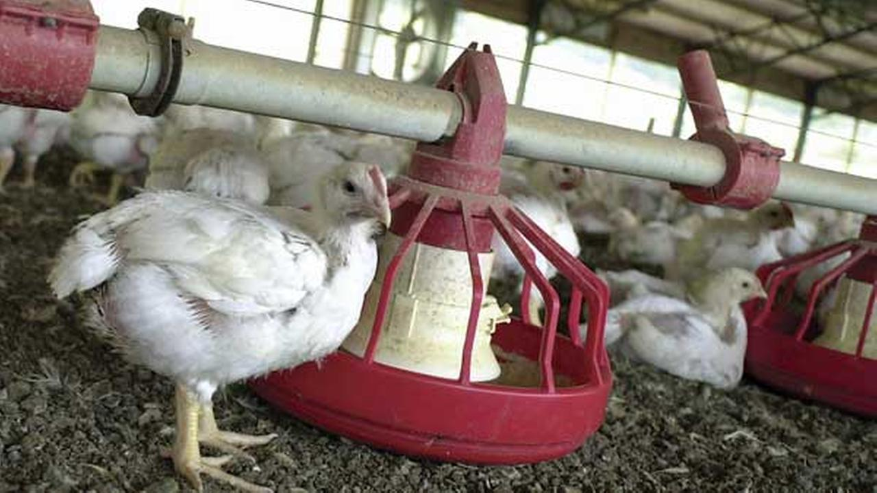 FILE - In this file photo taken June 19, 2003, chickens gather around a feeder in a Tyson Foods Inc., poultry house near Farmington, Ark.