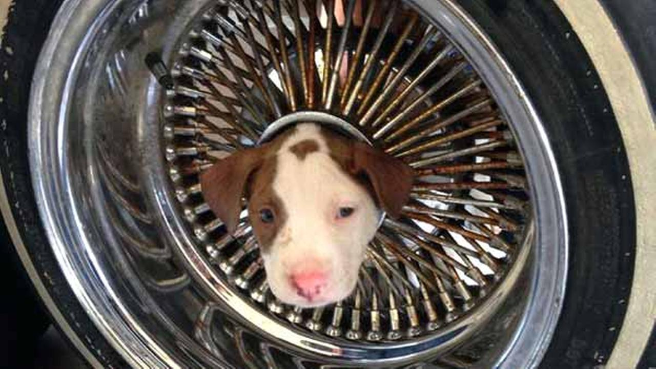 In this photo released by the Kern County Fire Department, a puppy named Junior that somehow got his head stuck in the middle of a wheel rim.