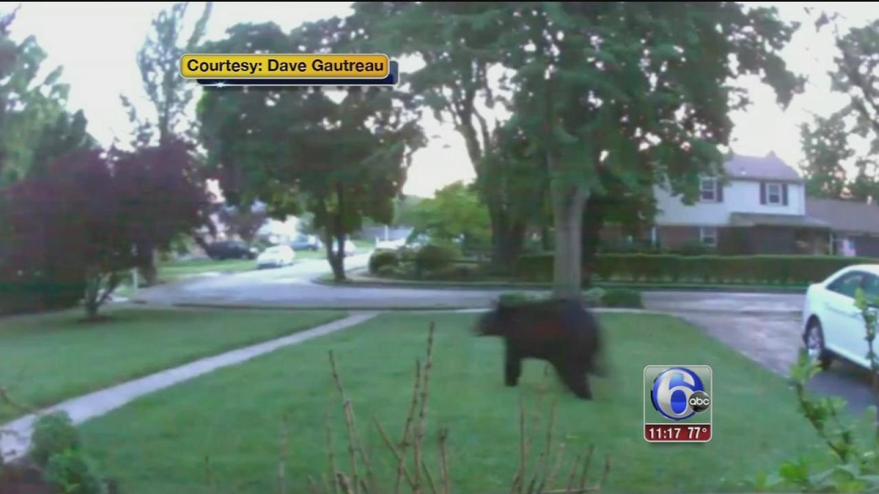VIDEO: Bear walks across Phoenixville yard