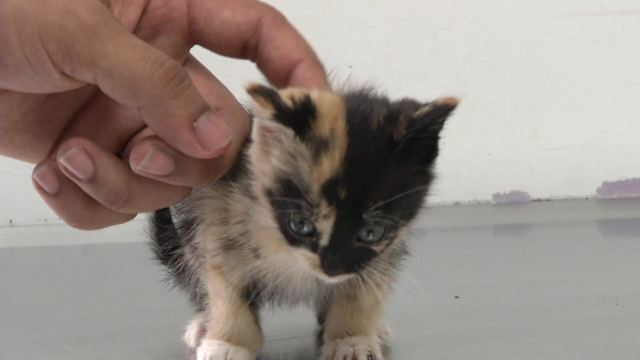 The three-week old kitten was found by trash collectors in Upper Darby in a bag with paint on her fur.