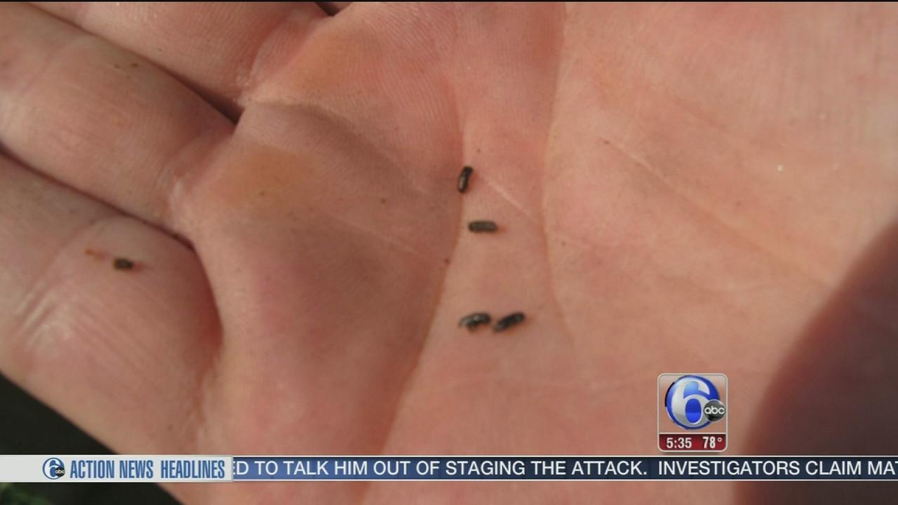 VIDEO: Small beetle big problem in NJ