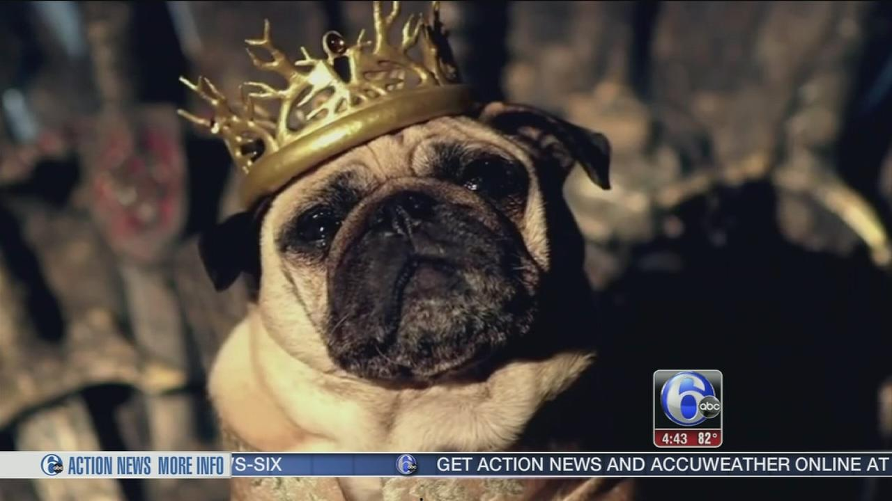 VIDEO: Game of Pugs burning up the Web