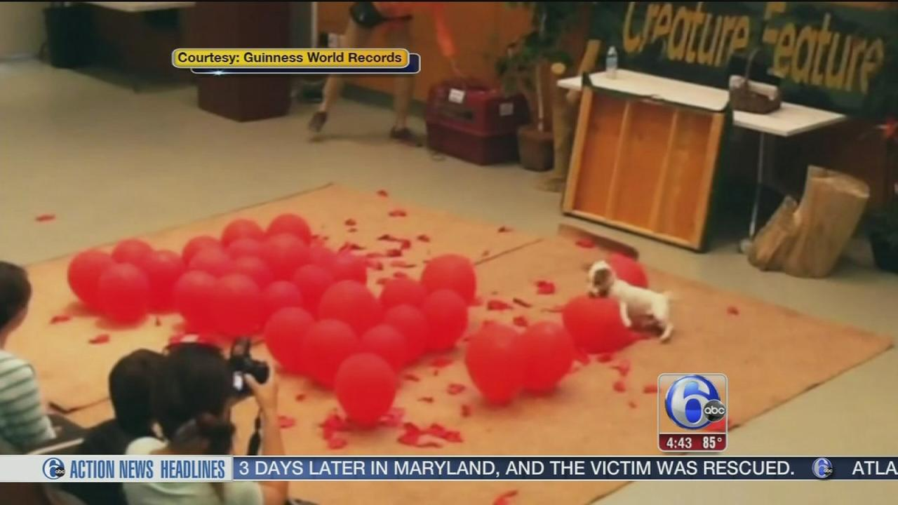 VIDEO: Dog sets balloon popping world record
