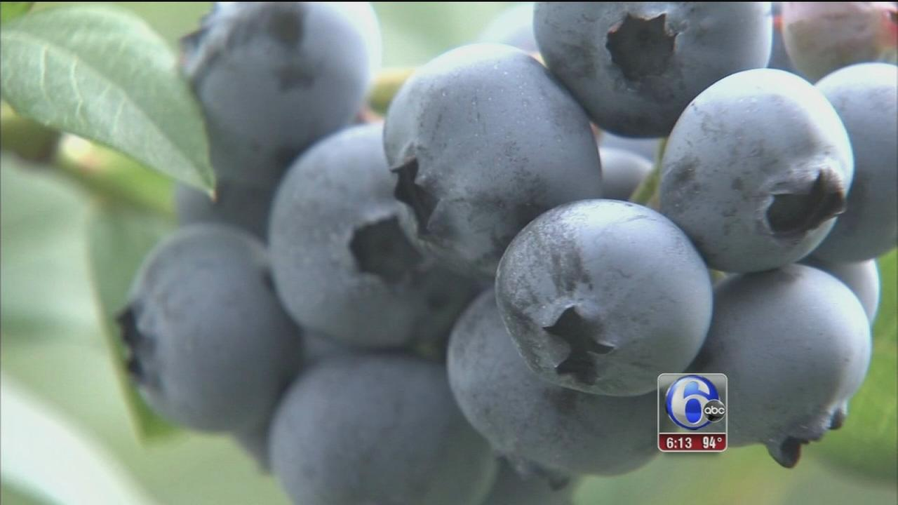 VIDEO: Blueberry picking