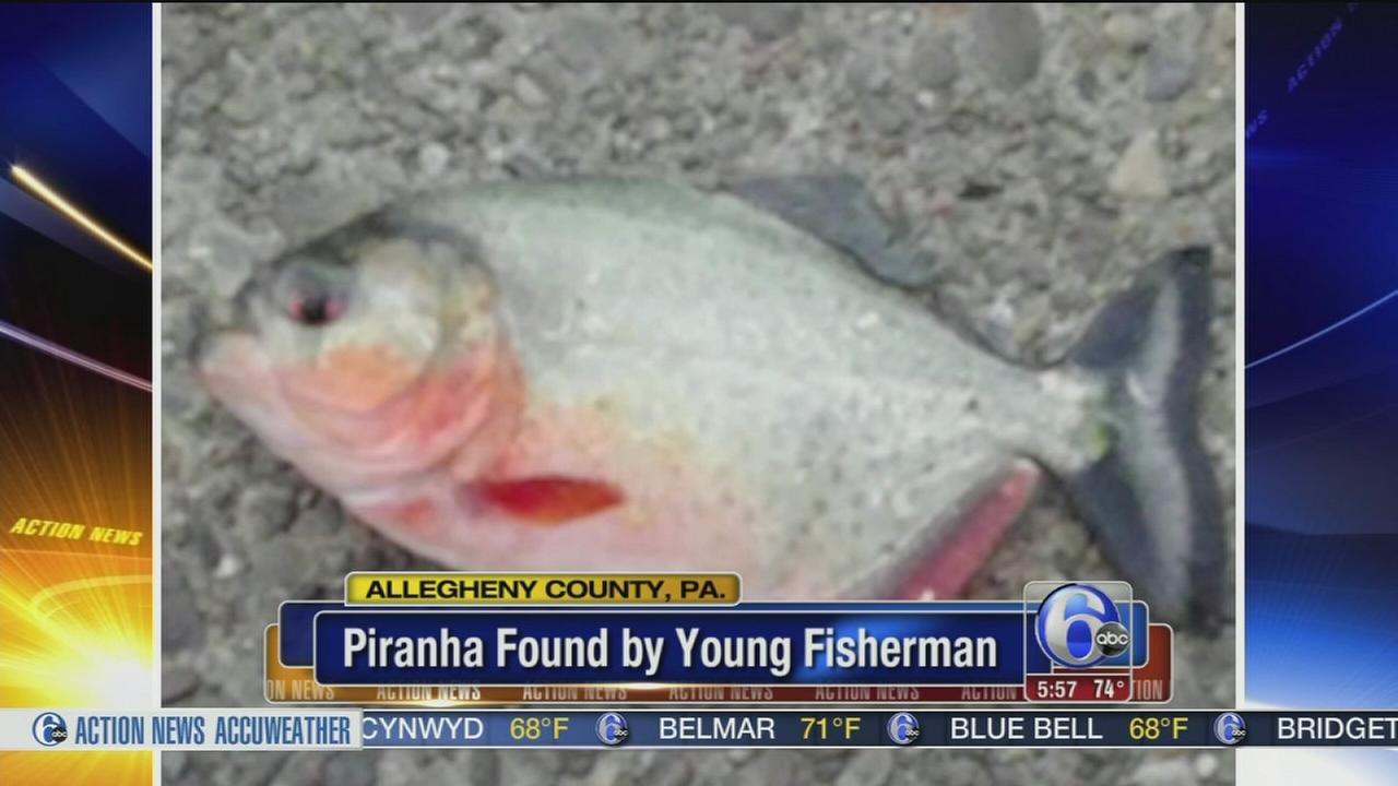 VIDEO: Piranha found in Pennsylvania lake