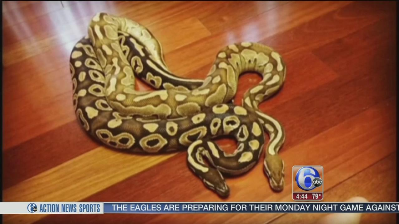 VIDEO: 14 missing pythons on the loose in Georgia