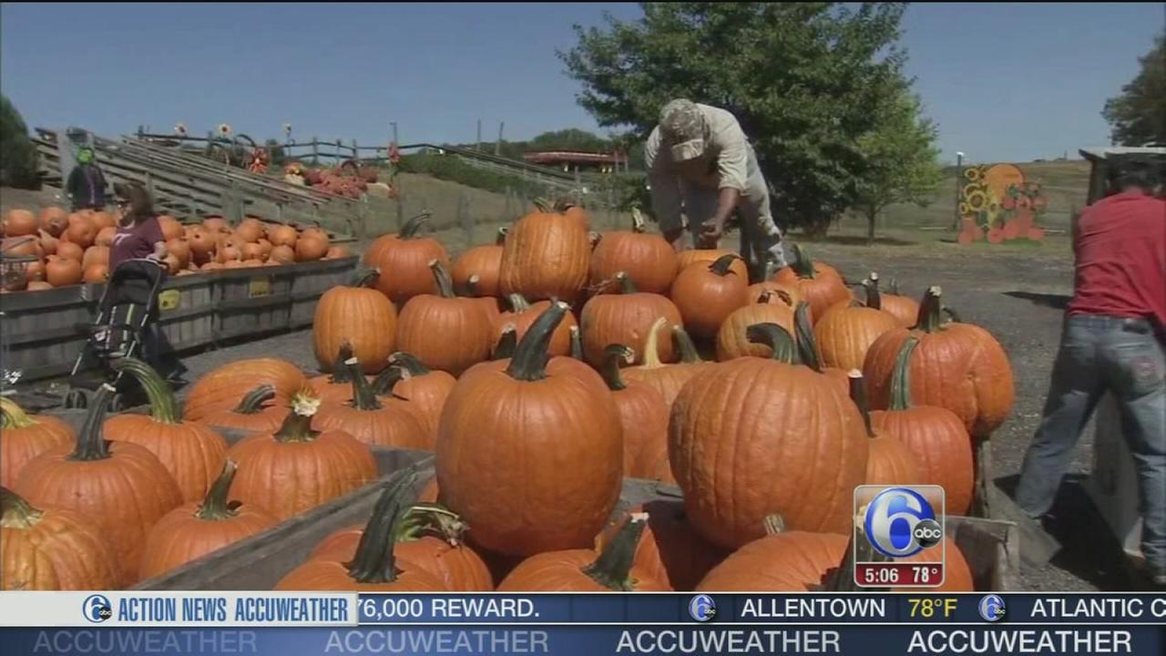 VIDEO: Pumpkins