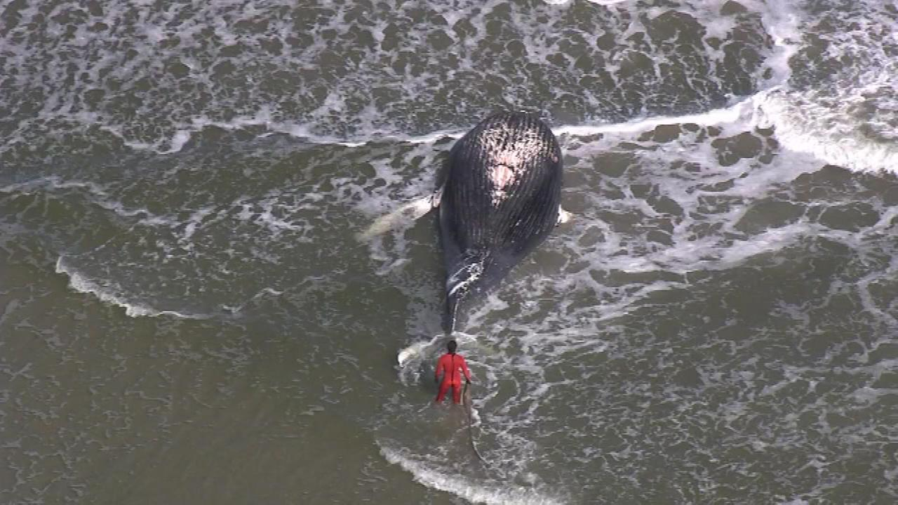 Officials believe a whale that washed ashore in Sea Isle City Friday afternoon died due to human interaction.
