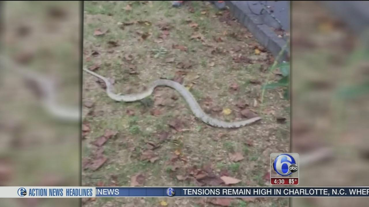VIDEO: 6-foot-long snake found in Delco driveway