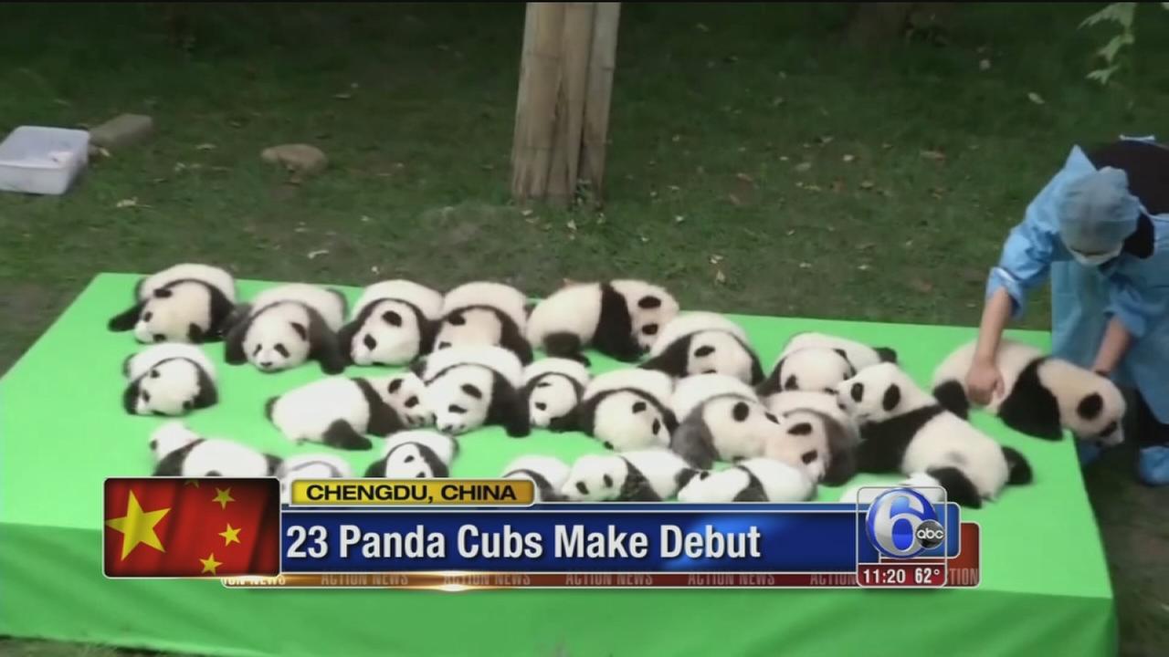 VIDEO: Baby pandas