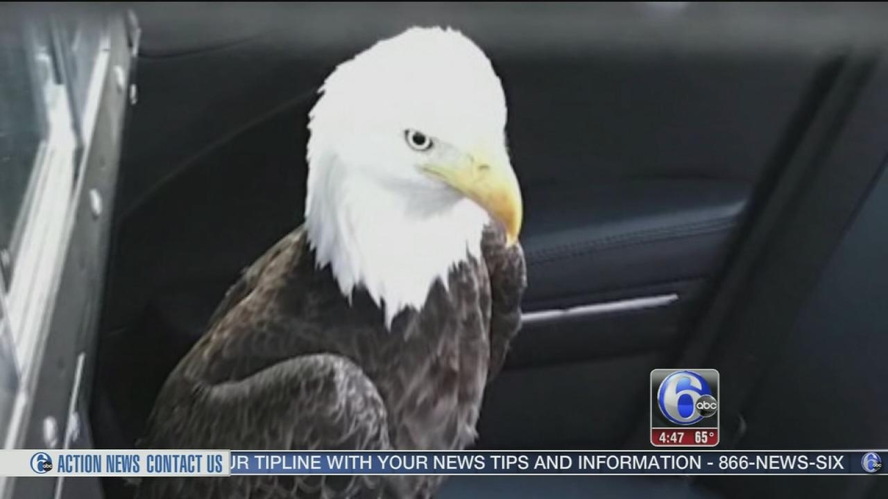 VIDEO: Bald eagle rescued from Florida turnpike