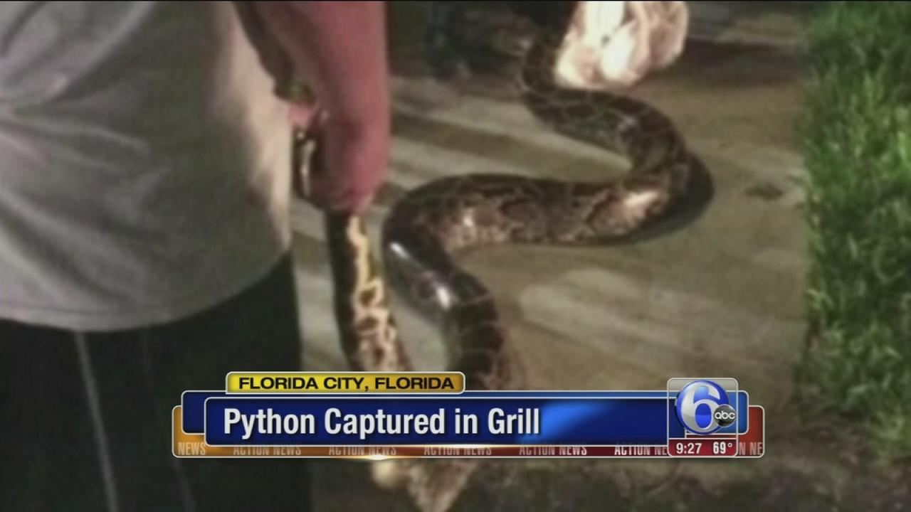 VIDEO: 12 foot Python captured in grill