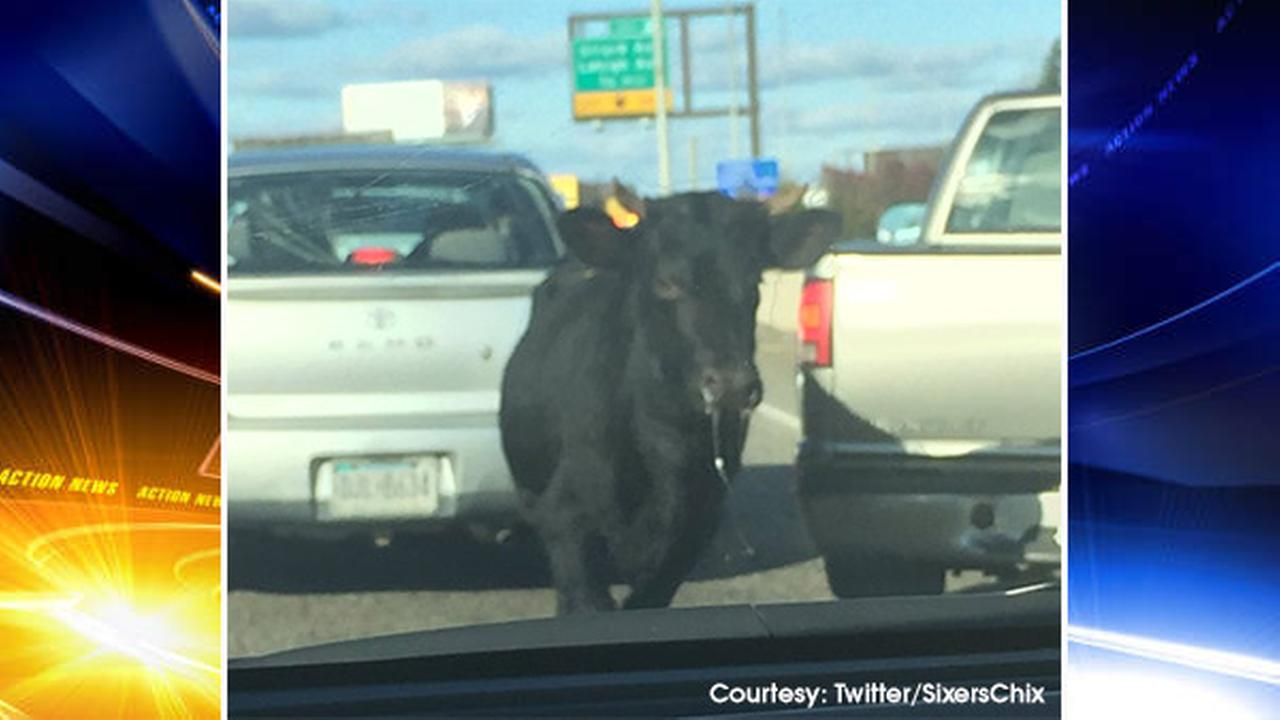Runaway bull blocks traffic on roads, highways in Center City