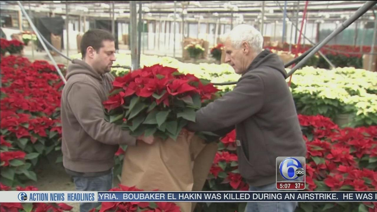 VIDEO: Holiday demand keeps NJ poinsettia growers busy