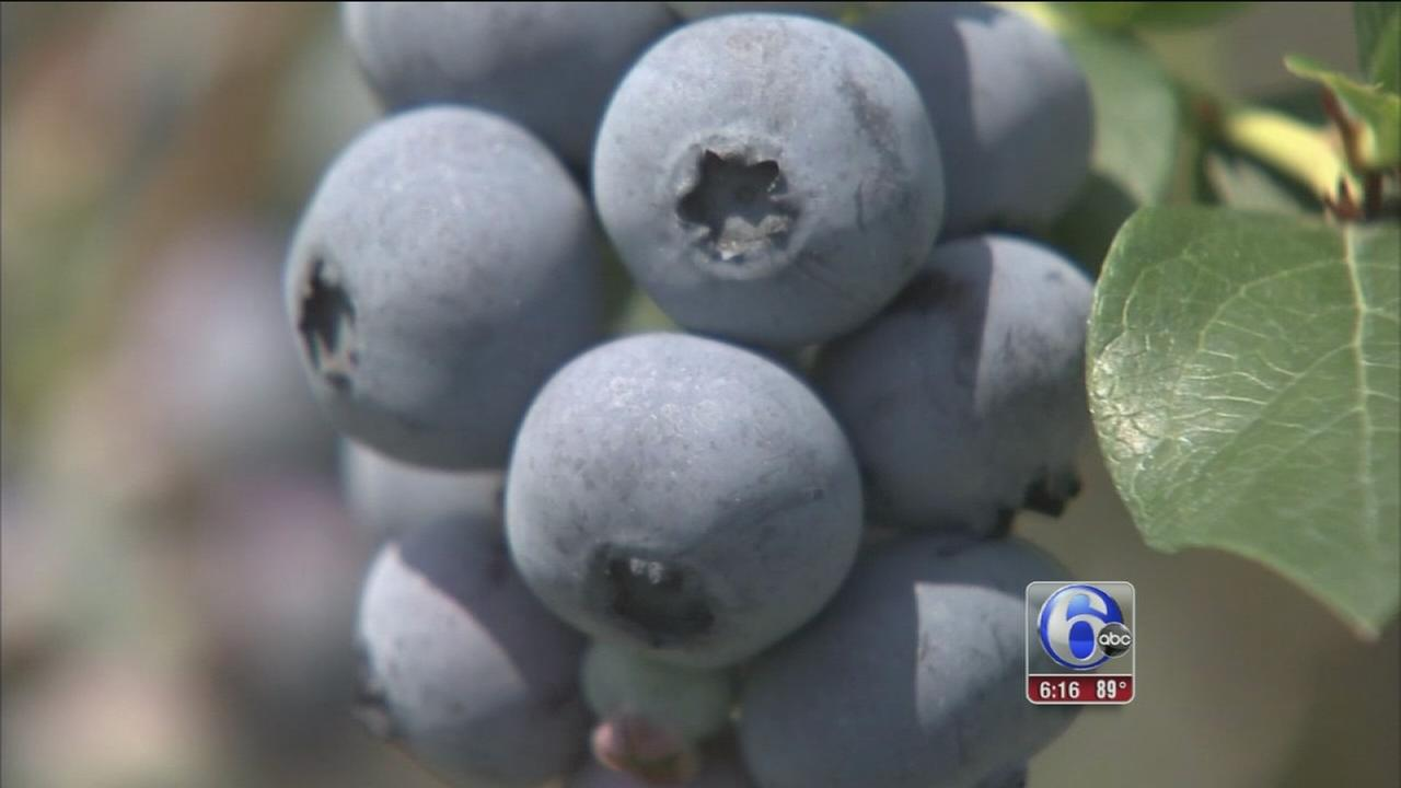 VIDEO: NJ farmers thrilled with this years blueberry crop