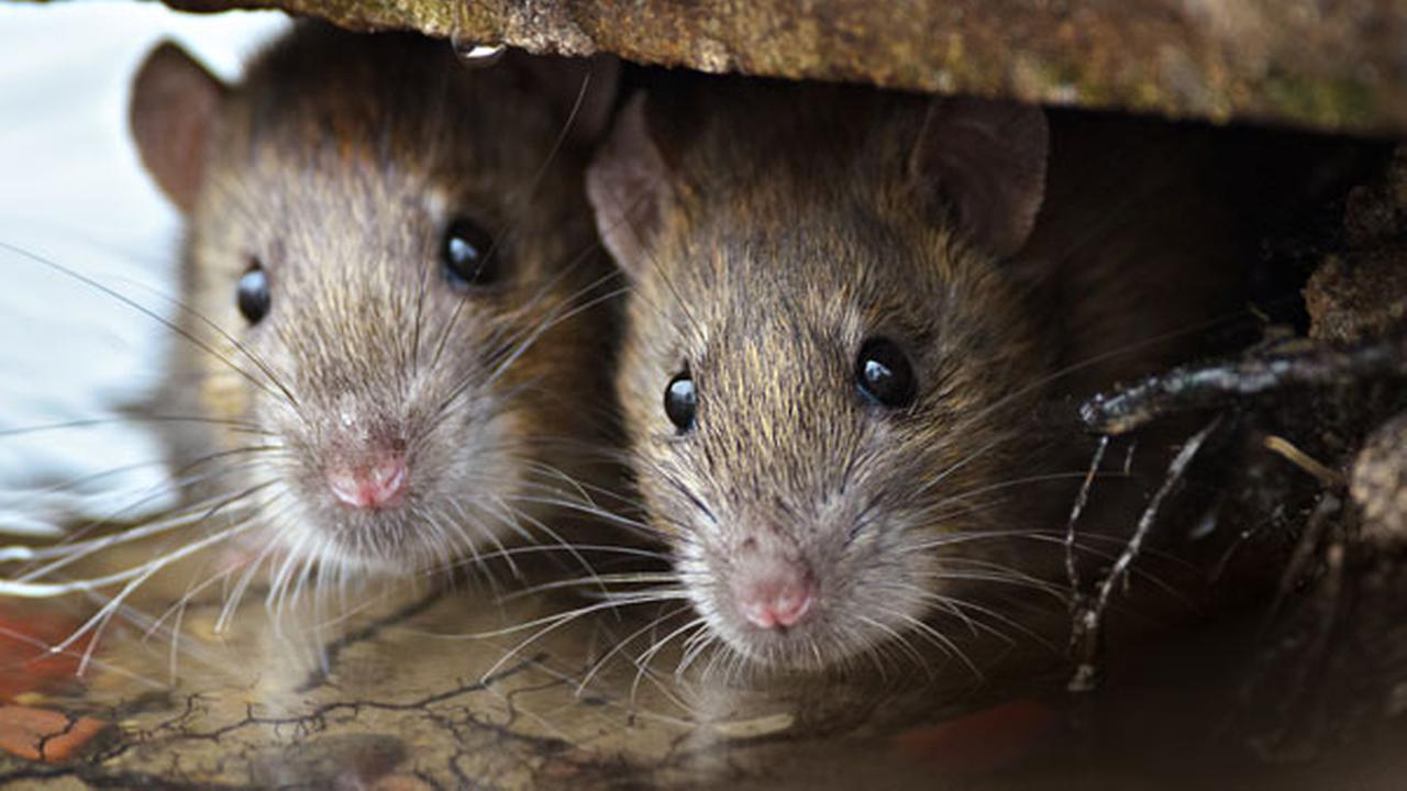 Rare rat virus outbreak reported in Wisconsin, Illinois