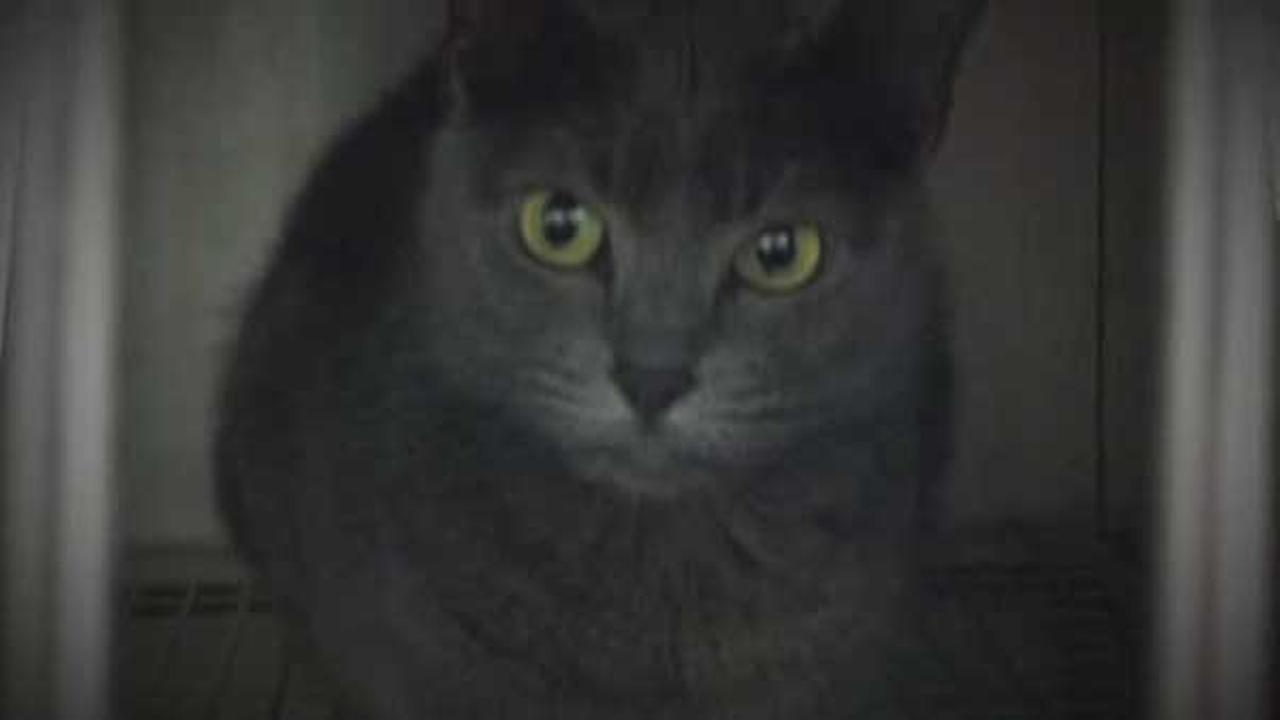 A 4-year-old Russian blue cat named Kush is being quarantined after apparently going berserk inside a central Florida home, prompting its owners to call 911.