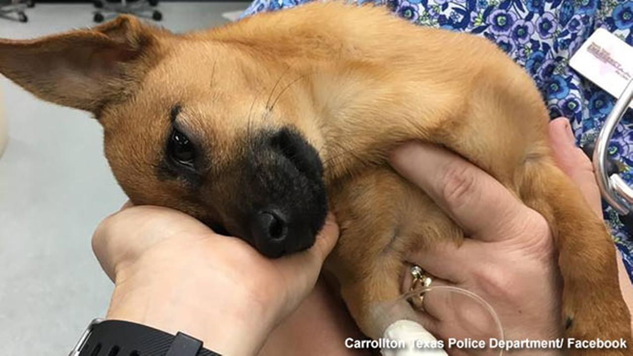 'Lucky' puppy survives heroin overdose