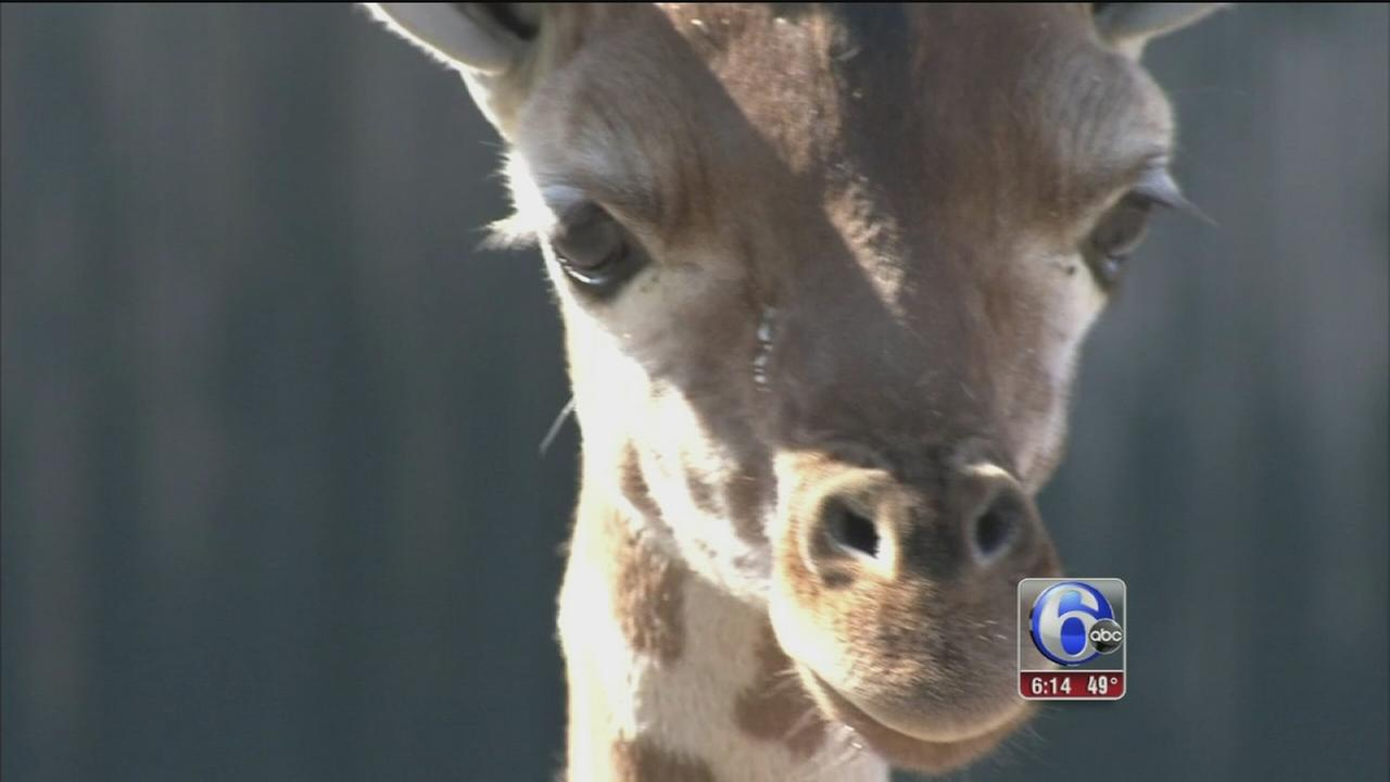 Baby giraffes make Six Flags Great Adventure debut