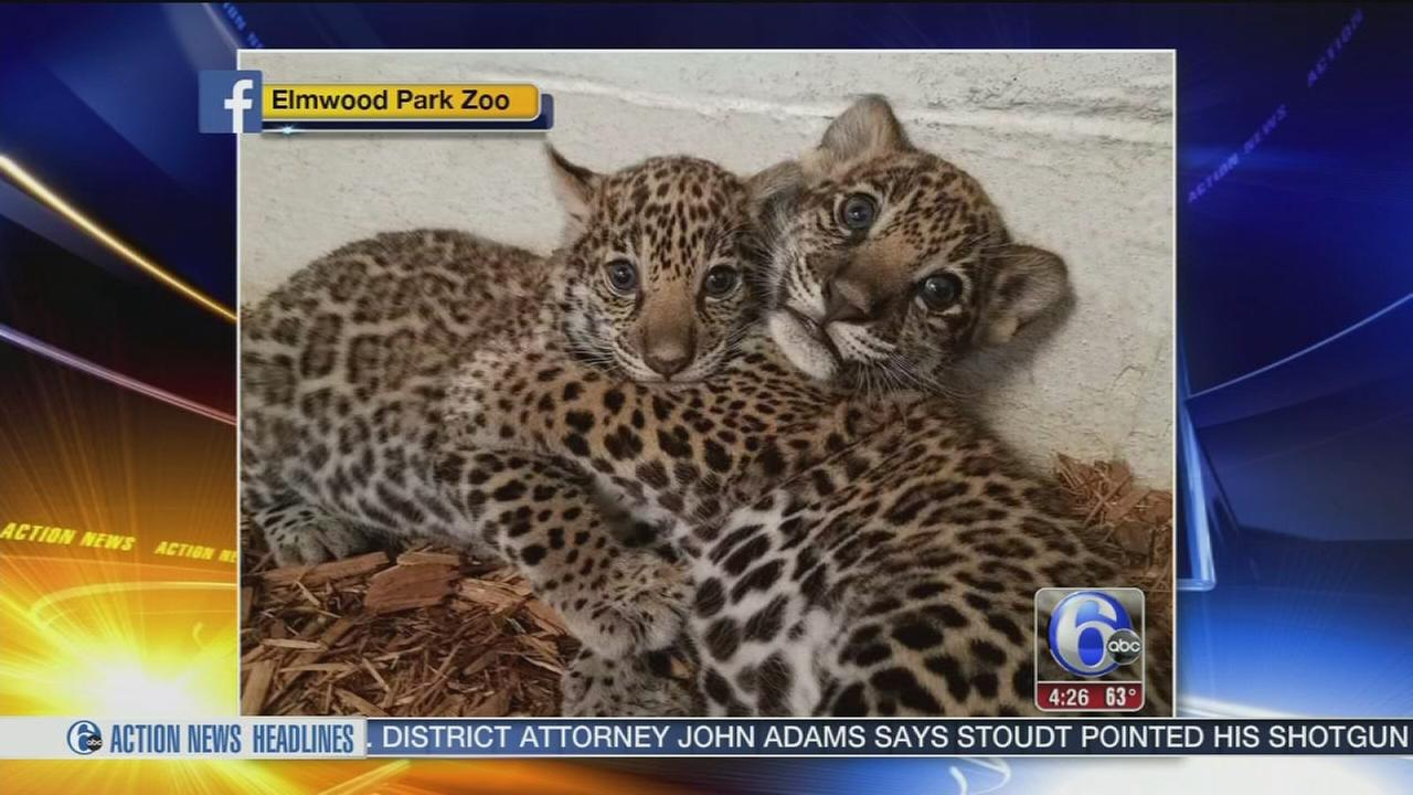 VIDEO: Elmwood Park Zoo baby jags need names