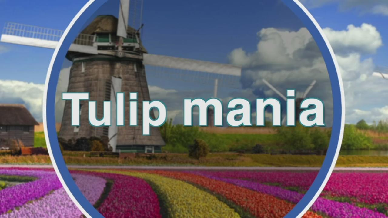 VIDEO: Tuilp Mania