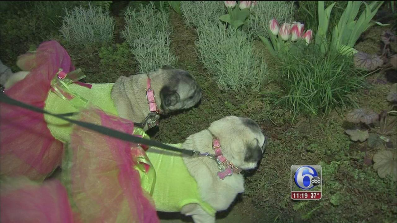 Proposals, pugs in tutus serve as highlights at Philadelphia Flower Show